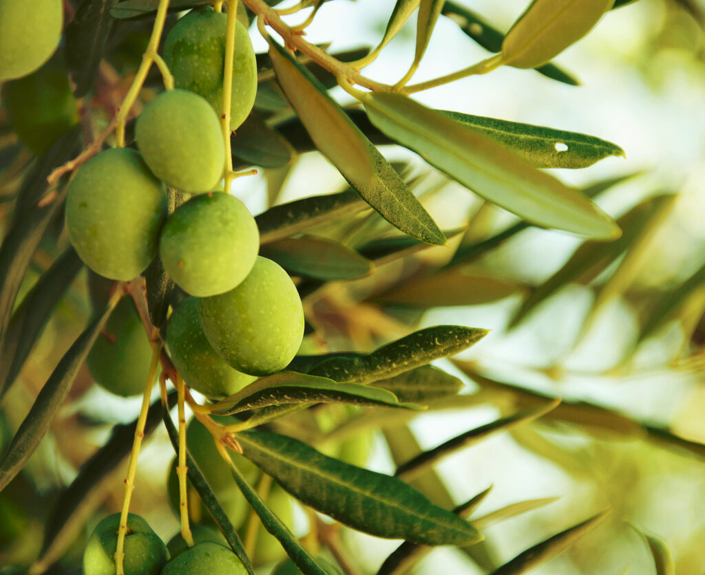 legends and myths about olive oil